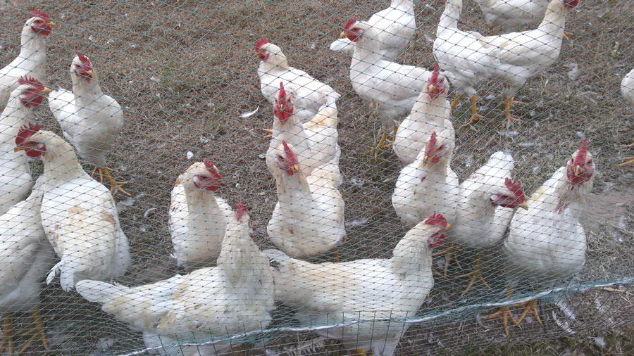 Galvanized Steel Hexagonal Poultry Net Fencing